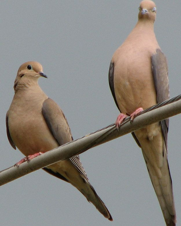 87 Best Mourning Doves Images On Pinterest Mourning Dove Turtle