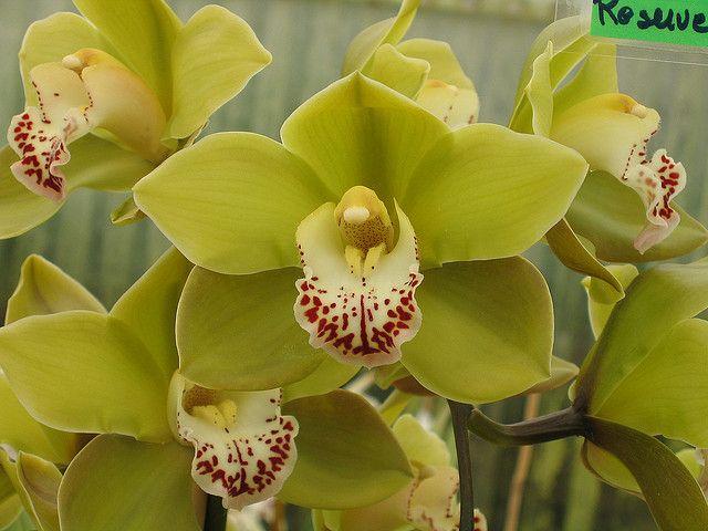Green Cymbidium Orchid by Kennis W, via Flickr