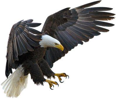 Adler, Animal, Bird, Raptor, Nature