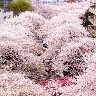 Sakura, Japón.......beautiful