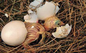 Erst wenn das Gelege vollständig ist (circa 8 bis 15 Eier), beginnt die Henne naturgemäß zu brüten. Die Küken schlüpfen nach drei Wochen und können das Nest sofort verlassen. Sie suchen sich – unter Anleitung der Glucke – ihre Nahrung selbst. Die meisten Hennen haben ihren Bruttrieb allerdings verloren, da sie selbst in Brutapparaten geschlüpft sind. Bei alten Nutztierrassen und Zwerghühnern hat man noch gute Chancen auf brutwillige Tiere