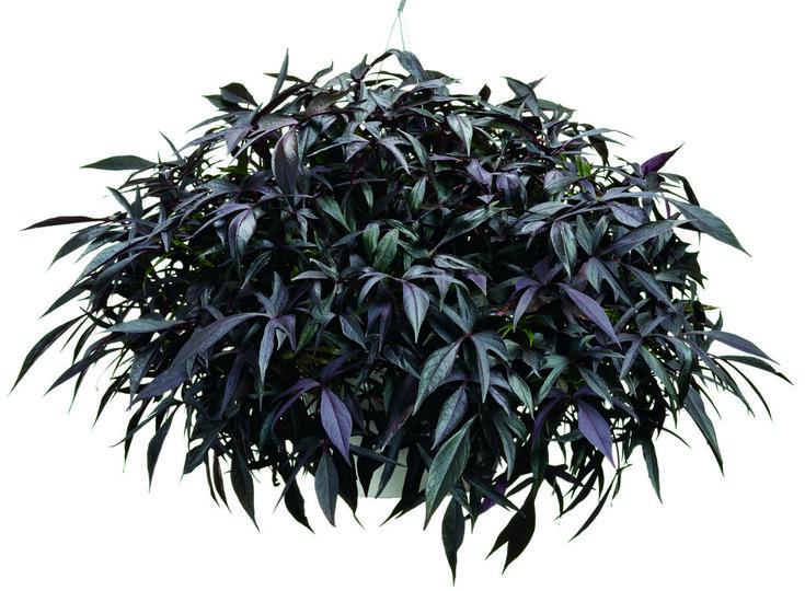 Ipomoea Illusion Midnight Lace (Sweet Potato Vine)