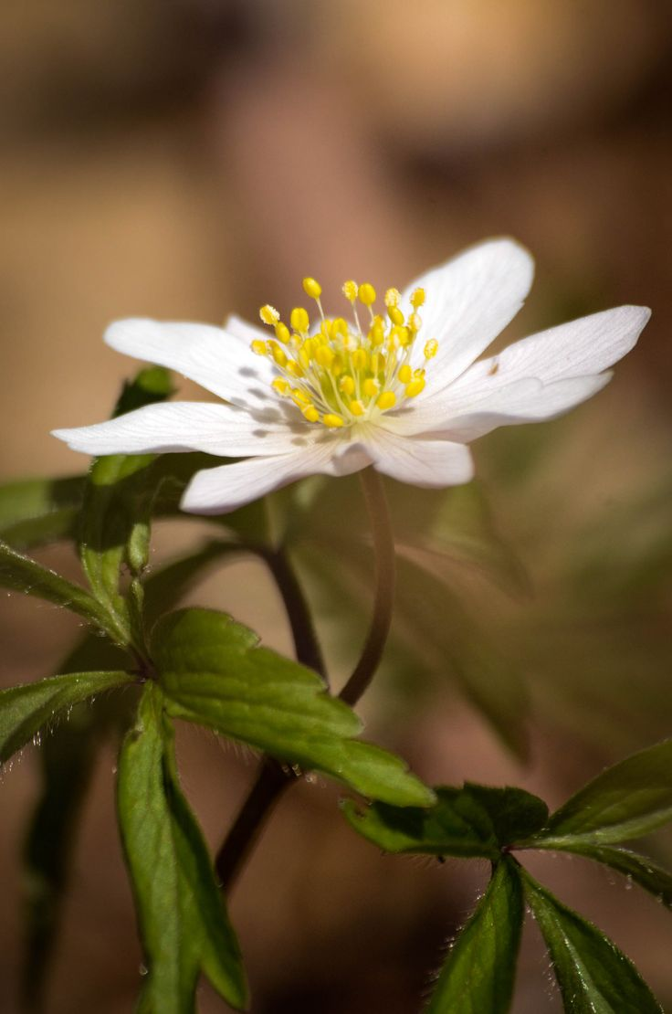 https://flic.kr/p/GboLhz | Wood anemone | Vitsippa (Anemone nemorosa)