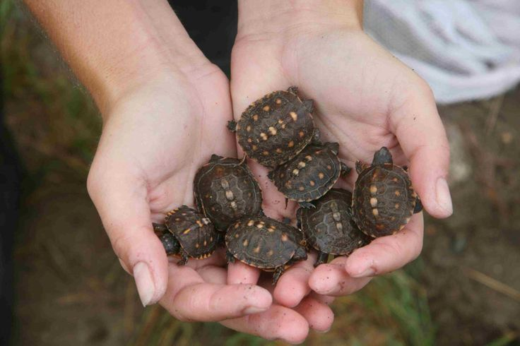 Baby box turtles