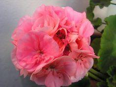 How to Make Essential Rose Geranium Oil