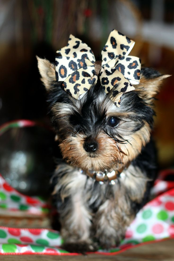 yorkie puppies videos 17 best images about yorkie love on pinterest 782