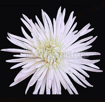 84 best white wedding flowers images on pinterest white wedding white spider mum anastasia flower mightylinksfo