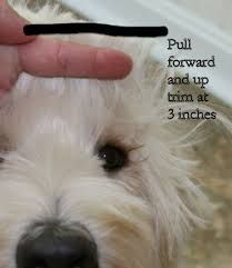 Image result for how to groom a labradoodle face