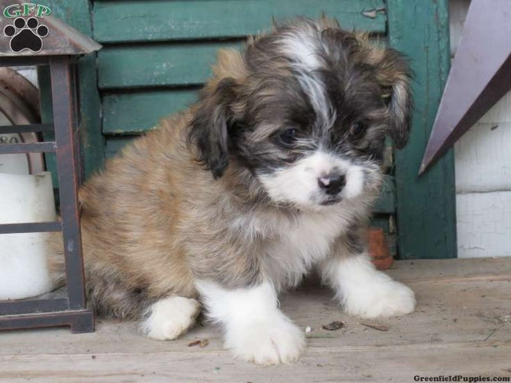 Rosy, Shichon puppy for sale from Narvon, PA