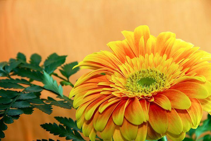 Flower, Gerbera, Plant, Floral