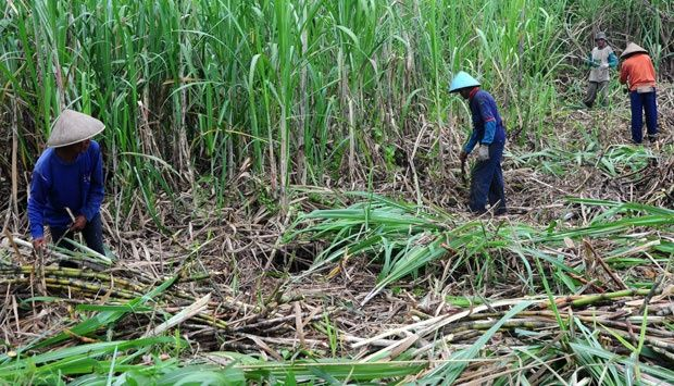 """Madura Island Sugar Island Will Be Changed -        , Bangkalan sugar-national Company PT Plantation Country X wants to make sugar as an icon of the island of Madura in addition to salt. One of the steps taken is to continue to expand the area of sugarcane in 4 districts in Madura. """"Madura island should be known as well as sug... - http://www.technologyka.com/indonesia"""
