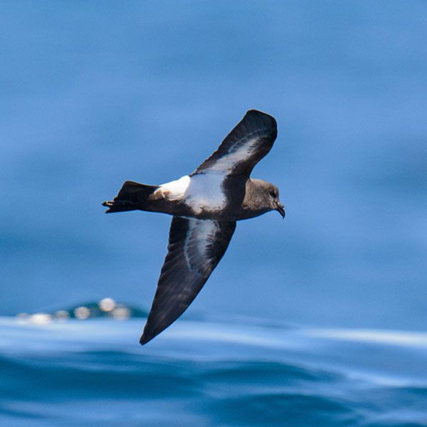 Black-bellied Storm Petrel by Dylan Vasapolli