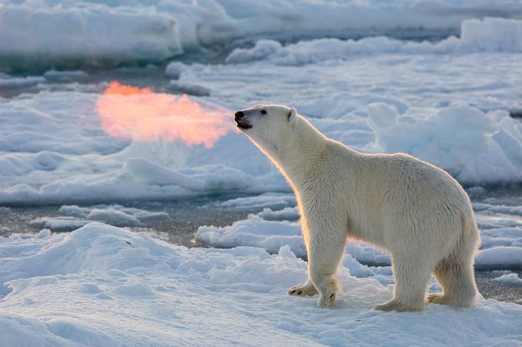 「The rising sun makes this polar bear's backlit breath look like fire. Got questions for @joshanon, the guy who shot this photo? Join us on Twitter on…」
