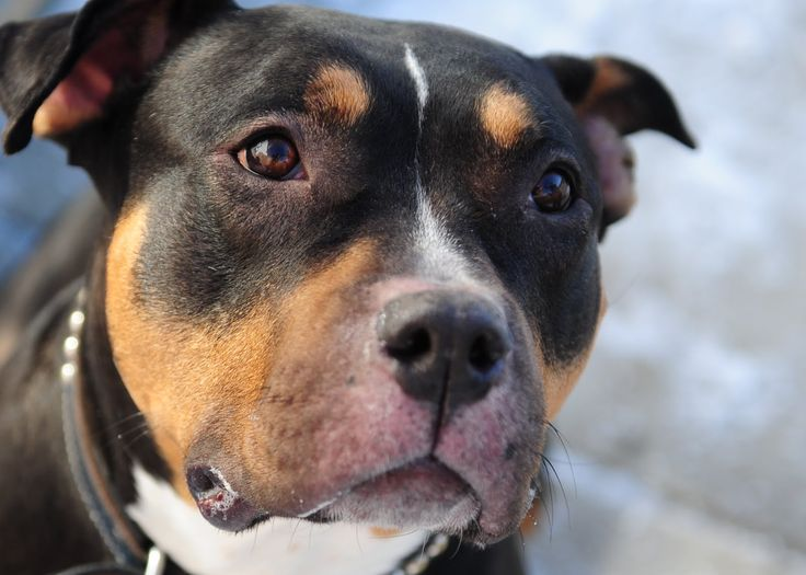 ... about Pet stuff on Pinterest | Rottweilers, Pitbull and Rottweiler Dog