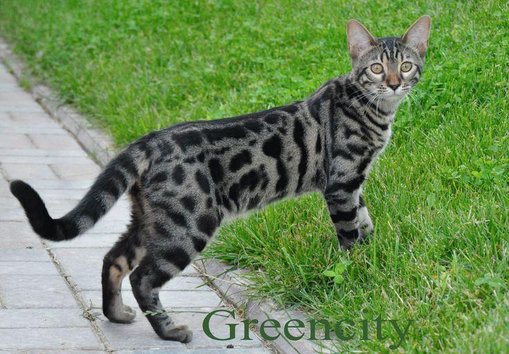 Фото-бенгальской-кошки.jpg (3436×2392)