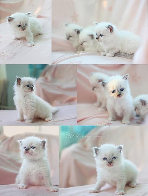 #chatons #blancs