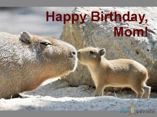 17 Best Images About Capybara On Pinterest