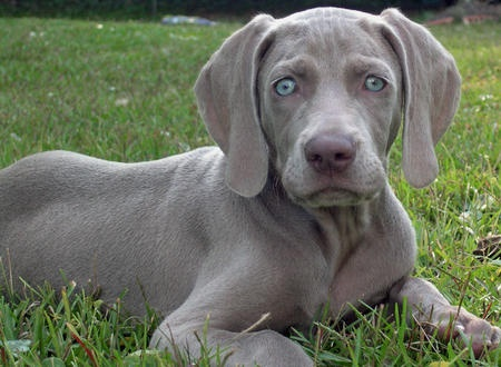 young.  :)Weimaraner Large, Legs Friends, Large Dogs, Pets, Blue Eyes, Weimaraner Puppies, Weimaraner Dogs, Puppies Dogs Pictures, Adorable Animal