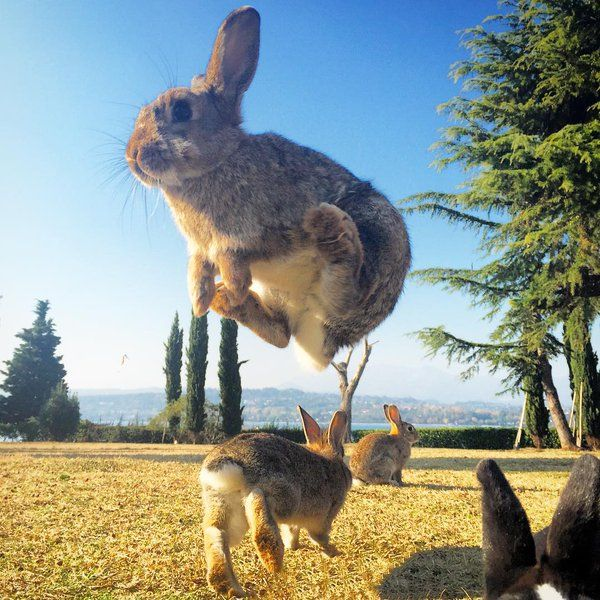 Jumping for joy. Rabbits love space to run, jump and play with their friends. Rabbit Island, Isola dei Conigli, Italy