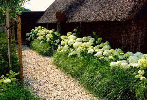 Healthy hydrangeas and fountain grass...