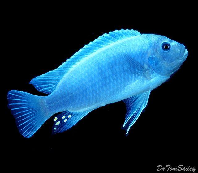 Best 25 malawi cichlids ideas on pinterest for Lake malawi fish