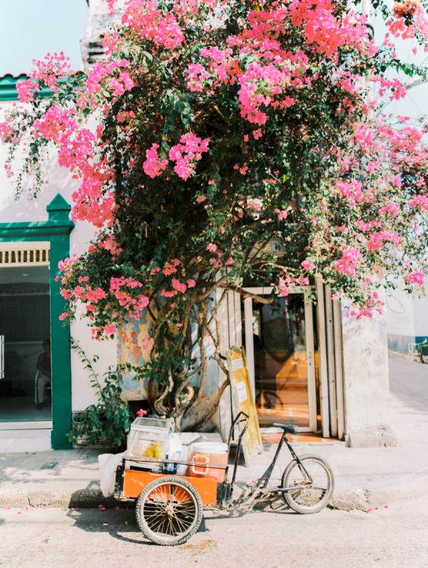 A stunning capture of pink blooms in Cartagena, Colombia.