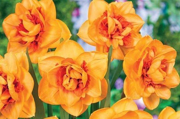 17 Best Ideas About Daffodil Bulbs On Pinterest Tulip