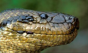 """Snake heads  Pythons and boas are distant relatives and have come to occupy a wide range of habitats. A careful study of the head shapes of over 1000 species has given us a beautiful case study in convergent evolution. """"Strong selective pressures have driven this convergence,"""" write researchers, with similarities between these different lineages evolving in at least five different ecological settings. Ecology Letters"""
