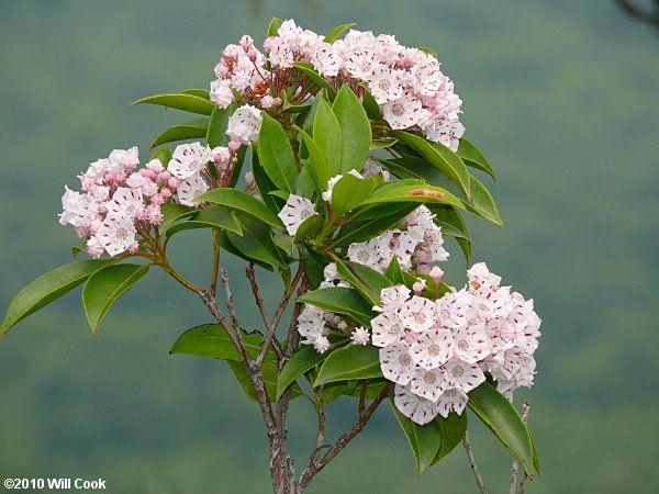 Mountain-Laurel (Kalmia latifolia) Pennsylvania's State Flower