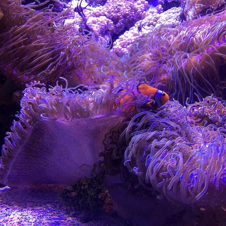 I found Nemo!  #travel #lifewelltravelled #adventuresofpaulandtara #australia #nsw #holiday #teamawesome #teamawesomedoNSW  #wanderlust #roadtrip #sydney #stroll #aquarium #selfie #sydneyaquarium #findingnemo by tiara_ashleyy