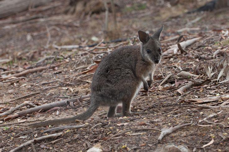 Wallaby at Sinclairs Gully Winery, near Norton Summit, South Australia