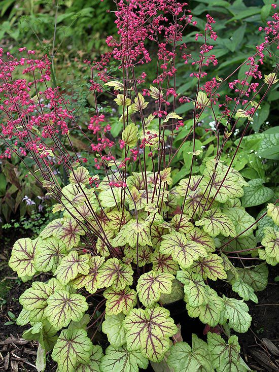 """New Shade-Loving Perennial Variety for 2013 - 'Circus' Coralbells or Heuchera... In the spring, it has peach-color leaves with deep red veins. In summer, the red veins remain but leaves slowly turn chartreuse with highlights of silver, shooting up reddish-purple stems bearing small, bright pink bell-shape flowers. Grow in shade or part shade in well-drained soil - For Zones 4-9. Grows 14""""T & W - Good with Hostas. [via bhg.com]"""