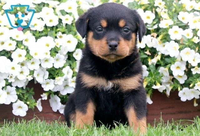 Ally Rottweiler Puppies Rottweiler Puppies For Sale Rottweiler