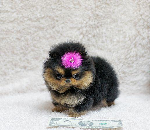 Teacup Puppies!: Micro Teacup Pomeranians, Cute Tiny Little Puppys, Black Teacup, Dogs, Teacup Somethinghaha, Black Pom, Baby Pomeranians, Teacup Puppys, Animal