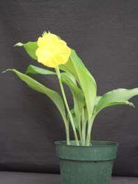 Siphonochilus decora, Kaempferia decora.
