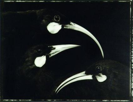 Prints  Graphics - Fiona Pardington - Australian Art Auction Records
