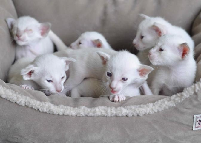 Siamese Cats For Sale CFA Kittens Shorthair Kitten Illinois Cat
