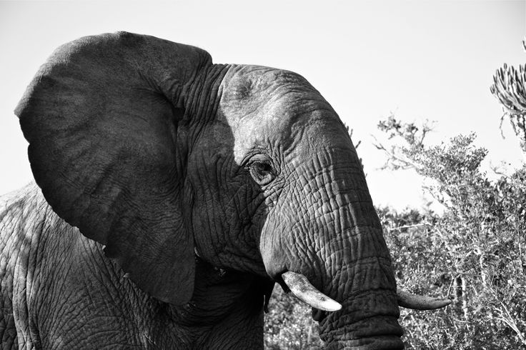 beautiful elephant at kariega game reserve! south africa