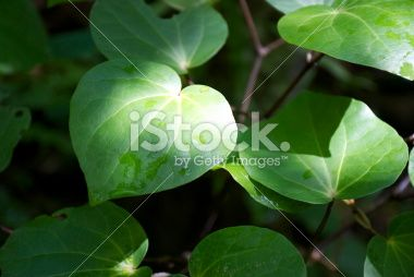 Kawakawa (Piper excelsum) Royalty Free Stock Photo