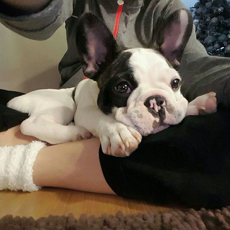 Good morning ☉ , French Bulldog Puppy, @my_little_frenchie