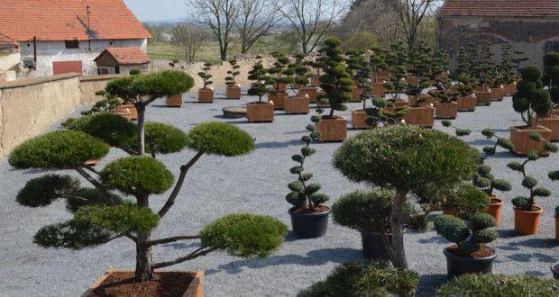 Tvarované stromy spojují východní tradici a moderní trendy | IN-MAGAZÍN