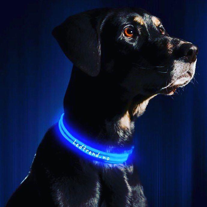 Voff skal vi gå tur snart?   #ledtrend #hund #hunden #hundehalsbänder #hundehalsbånd #halsbånd #halsband #turmedhund #turmedhunden