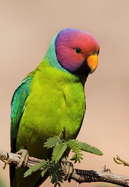 From the Wild Bird Trust, Plum Headed Parakeet, taken at Ranathambore national park, Rajasthan