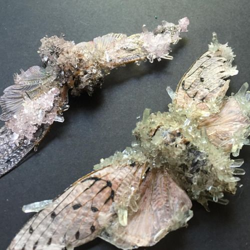 A detail of the pink and yellow crystallized ghost cicadas! Find me (Tyler_Thrasher)