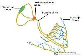 Image result for purkinje fibers   Atrioventricular node ...