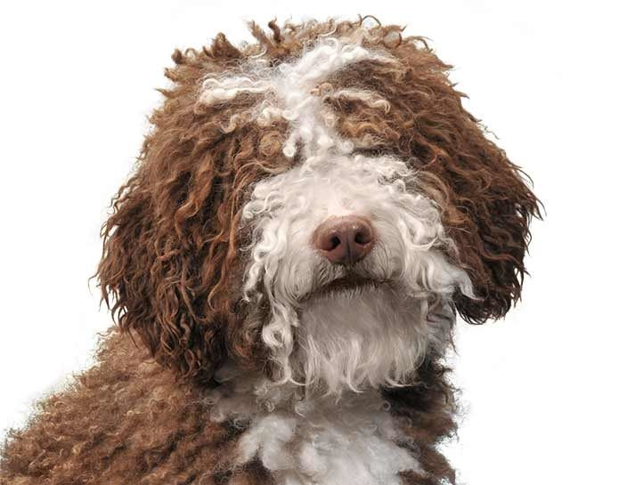 Spanish Water Dog: super cute, hypoallergenic, low maintenance coat (no combing, just cutting!), medium size, medium energy, loves water