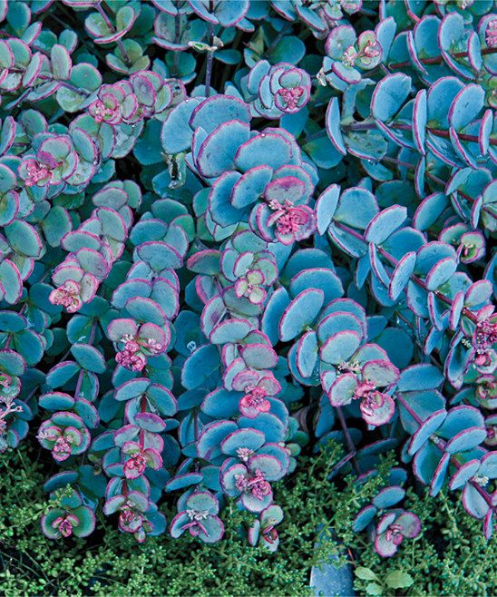 Spring Hill Nursery Live Blue Creeping Sedum Plant - Set of Two | zulily  . $9.99 $16.00 Product Description:  With round blue foliage and deep-pink details, these gorgeous flat-headed flowers emerge in late summer to attract beautiful butterflies and hummingbirds to the yard.      Includes two plants     Grows to approx. 9'' H     Perennial     Bloom time: July through August     Full sun to partial shade     Hardy in zones 3 to 9     Grown in the USA