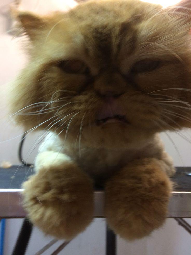 Gato tosquiado
