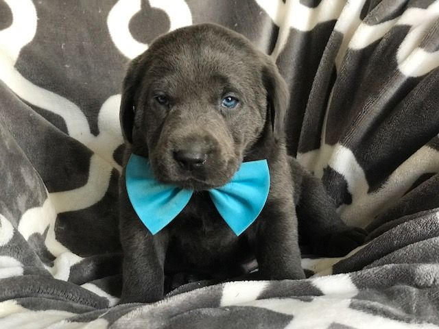 Labrador Retriever Puppy For Sale In East Earl Pa Adn 69907 On