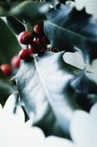How to propogate holly